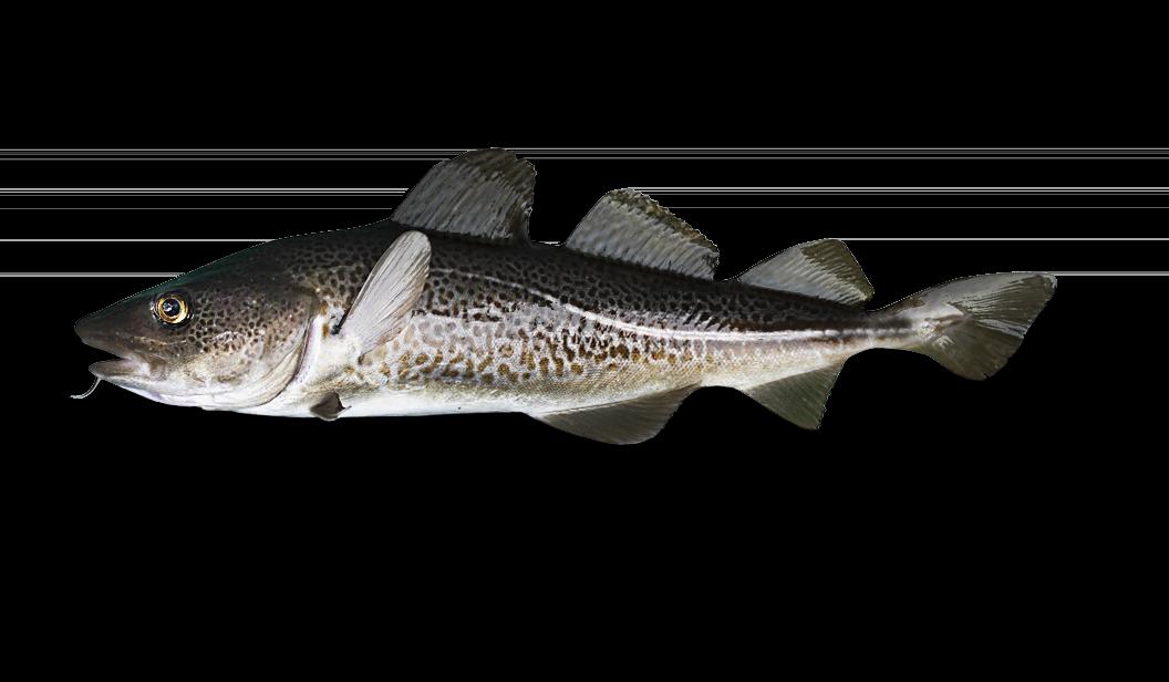 Atlantic Cod - Gadus Morhua