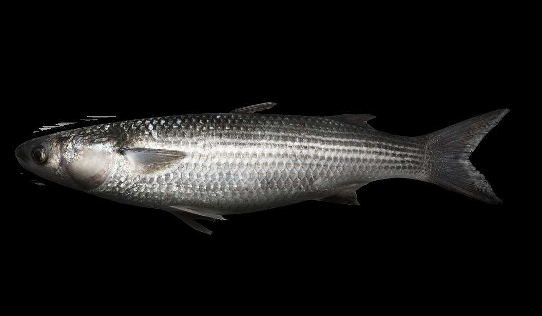Grey Mullet (Thicklip) - Chelon labrosus