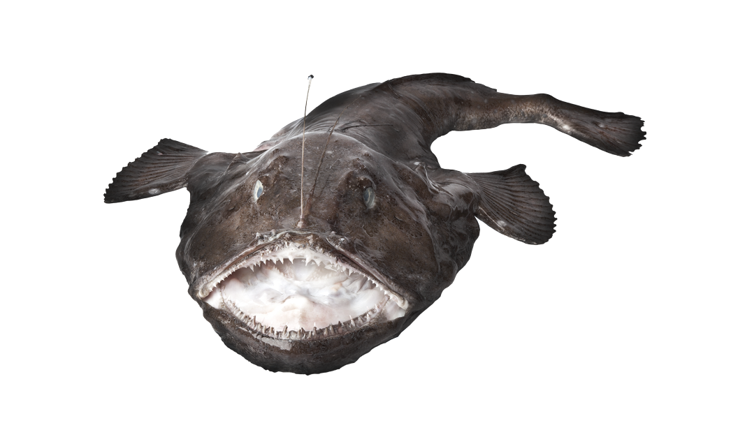 Monkfish - Squatina squatina