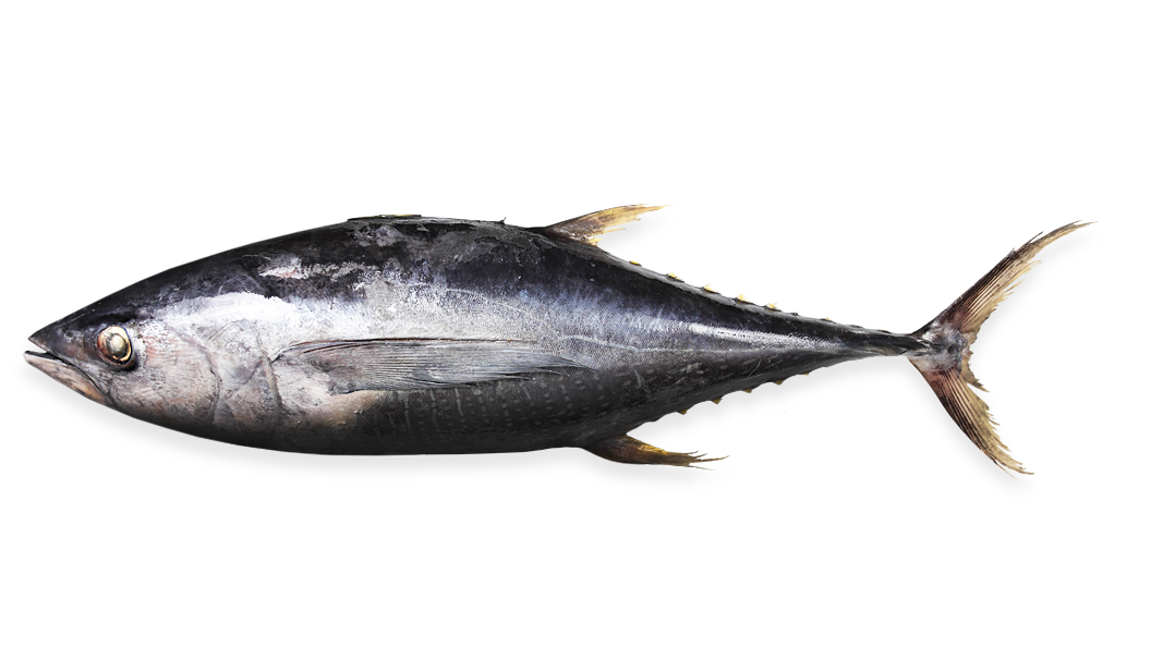 Tuna - Thunnus Albacares