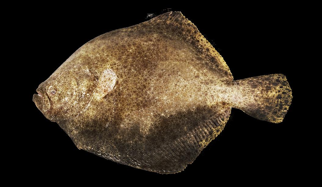 Turbot - Psetta maxima