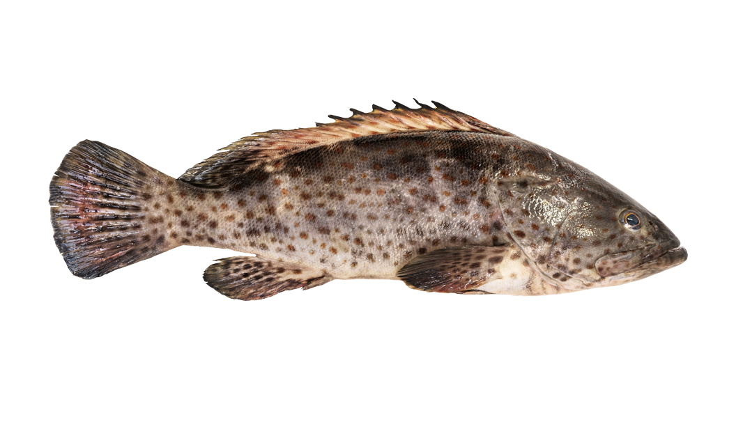 Hammour - Orange Spotted Grouper