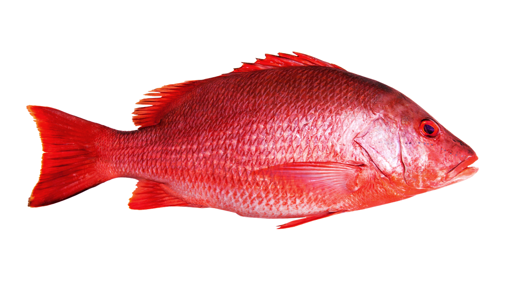 Red Snapper -
