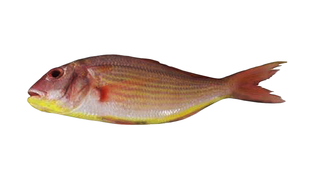 Sultan Ibrahim (Thread Fin Bream) -