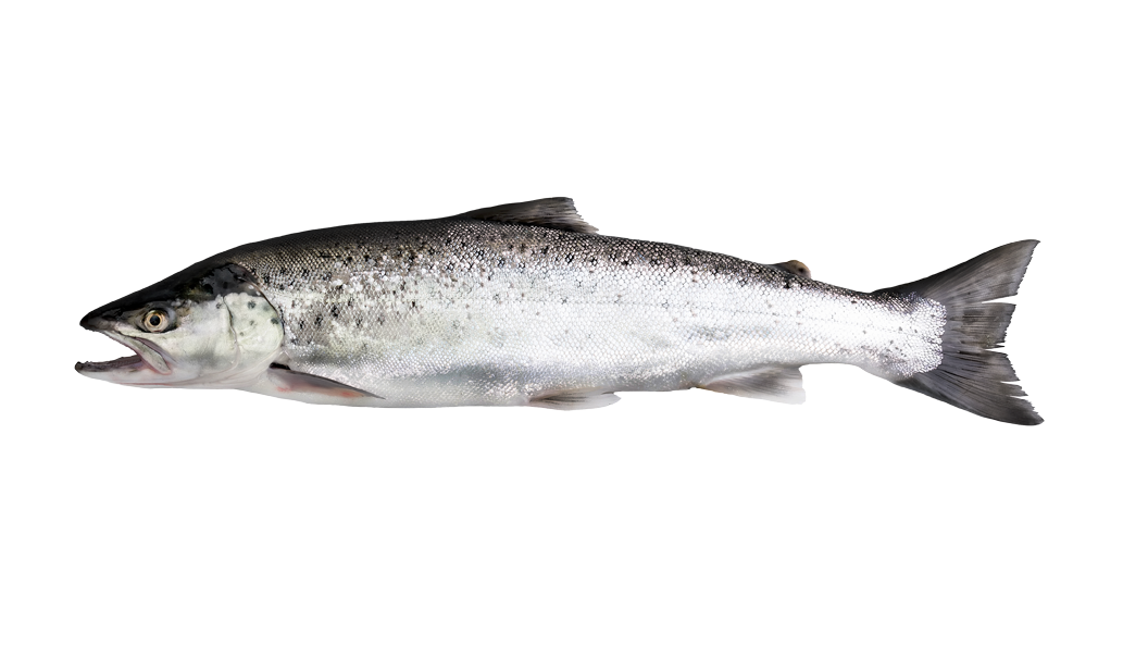 Salmon Trout - Salmo trutta